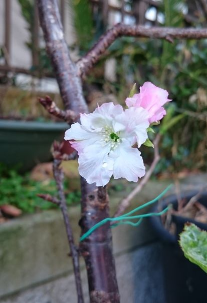 小さな桜が開花♪
